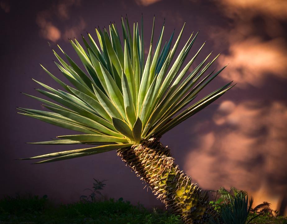 Sisal wordt van de agave plant gemaakt