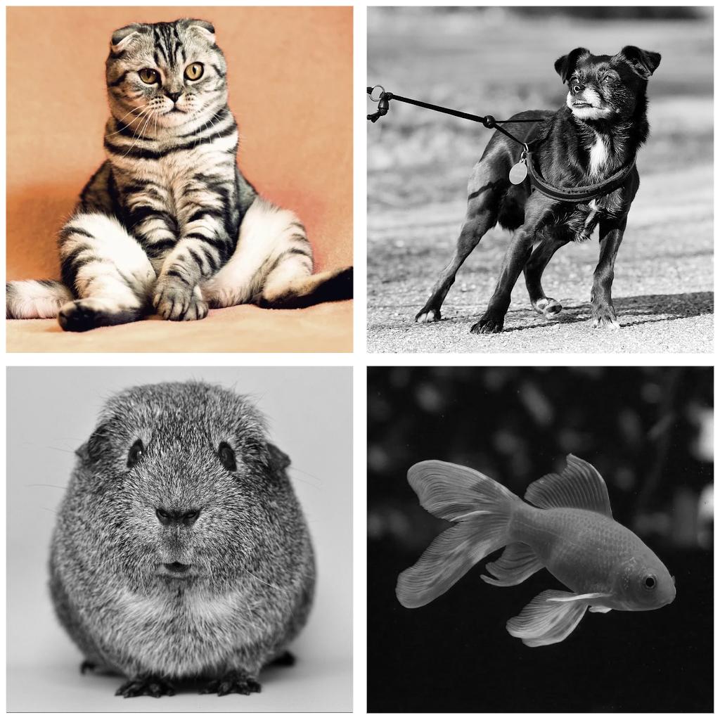 daaromeen kat
