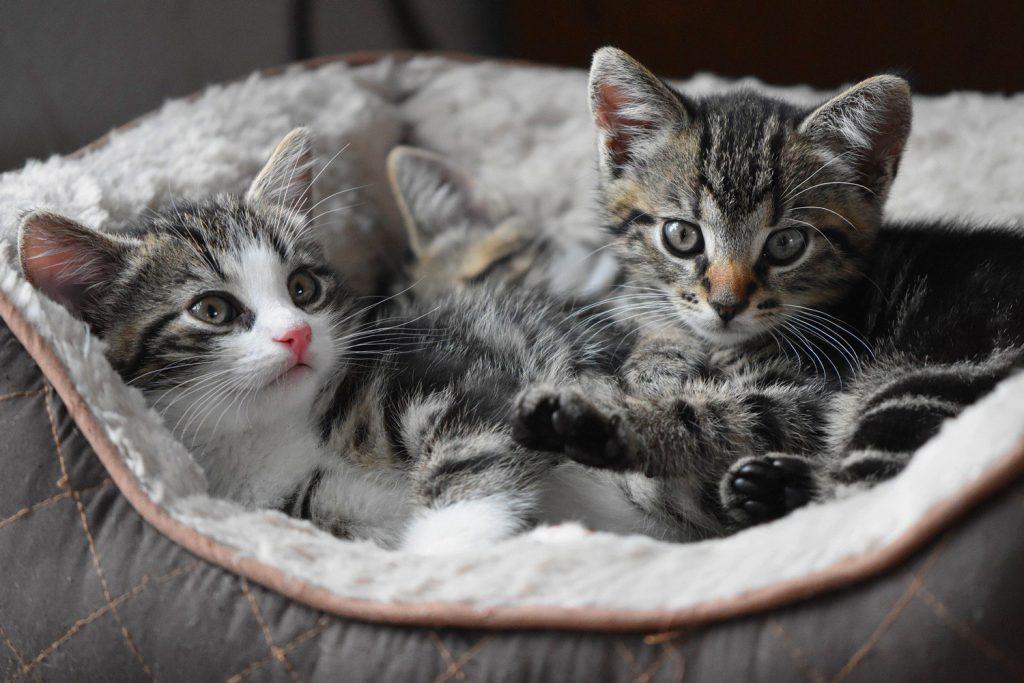 Cattery Kittens