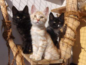 Kurilian Bobtail cattery