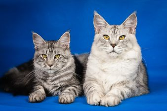 Maine Coon cattery