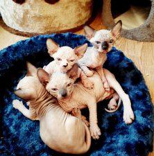 Sphynx catery kittens