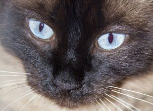 Balinees kat cattery