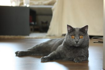 Chartreux cattery